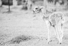 Baby Alpaca, also called Cria. Black and White. Royalty Free Stock Images