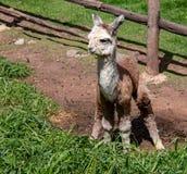 A Suri Alpaca in the Andes Mountains of Southern Peru. A Baby Alpaca in the Andes Mountains of Southern Peru stock photos