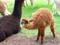 Baby Alpaca animal near his mother Stock Images