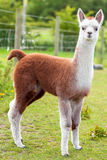 Baby Alpaca Brown and White. Baby Alpaca or Cria standing in a field Stock Image