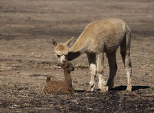 Baby Alpaca. A Baby Alpaca (Cria) with its mother Royalty Free Stock Photo