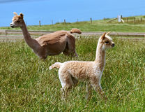 Baby alpaca with her mother Stock Images