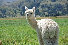 Baby alpaca Stock Photo