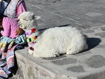 Baby alpaca next to a Peruvian street vendor. Alpacas and lamas are domesticated animals from the camel family in Peru, South America stock photography