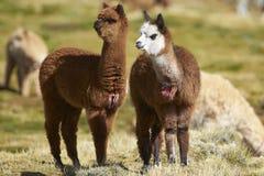Baby-Alpaka auf dem Altiplano von Nord-Chile lizenzfreie stockfotos