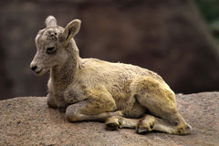 Baby Alpine ibex Royalty Free Stock Photo