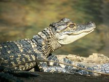 Baby American alligator. Side portrait of baby American alligator showing head and torso Royalty Free Stock Images