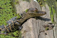 Baby American Alligator Basking in The Sun Royalty Free Stock Photo