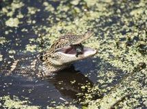 Baby American Alligator feeding Stock Images