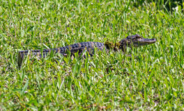 Baby American Alligator Royalty Free Stock Photos