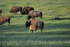 Baby american bison buffalo nursing Royalty Free Stock Images