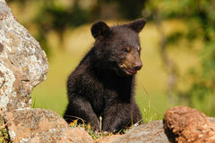 Baby American black bear Royalty Free Stock Photos