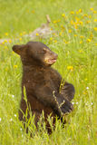 Baby American black bear Royalty Free Stock Images