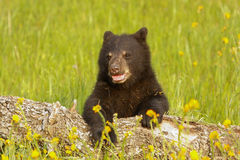 Baby American black bear Royalty Free Stock Photo