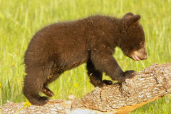 Baby American black bear Stock Photography