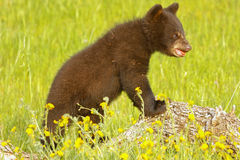 Baby American black bear Royalty Free Stock Image