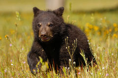 Baby American black bear Stock Image