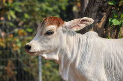 Baby American Brahman Royalty Free Stock Images