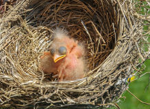 Baby american red robins Royalty Free Stock Photos