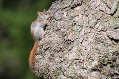 Baby American Red Squirrel Hiding On Tree. A baby American Red Squirrel attempts to blend in with its home tree at Toronto`s popular Rosetta McClain Gardens royalty free stock photo
