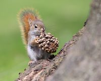 Baby American Red Squirrel With Pinecone. A baby American Red Squirrel investigates a pinecone that it found outside its home tree stock images