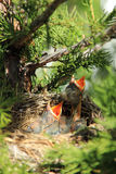 Baby american robins in a nest waiting to be fed. A pair of baby american robins are waiting to be fed Royalty Free Stock Image