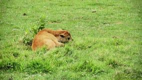 Baby Amerikaans Bison Lying Down During een Hete Dag stock footage