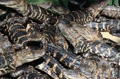 Baby Amerikaanse Alligators stock afbeeldingen