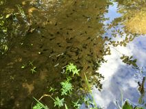 Baby amphibians in a pond in a park Royalty Free Stock Images