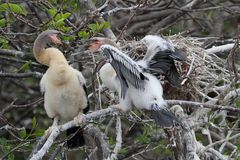Baby Anhingas Stock Photography