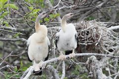Baby Anhingas Royalty Free Stock Image