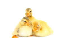 Baby animal. Cute ducklings isolated Royalty Free Stock Photos
