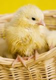 Baby Animal Royalty Free Stock Images