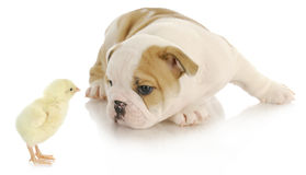 Baby animals. Newborn chick and bulldog puppy on white background Royalty Free Stock Images