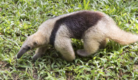 Baby anteater Stock Photography