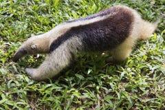Baby anteater. Thebaby of northern tamandua Tamandua mexicana stock images