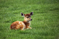 Baby antelope Stock Images
