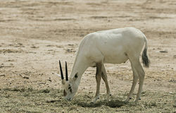 Baby of antelope, the Arabian oryx in nature reserve, Israel Stock Images