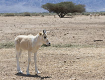 Baby of antelope, the Arabian oryx in nature reserve, Israel Stock Photography