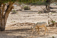 Baby of antelope, Arabian oryx (Oryx leucoryx) in nature reserve near Eilat, Israel Stock Photography