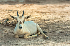 Baby of antelope, Arabian oryx (Oryx leucoryx) in nature reserve near Eilat, Israel Stock Photos