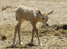 Baby of antelope Arabian white oryx Oryx dammah Royalty Free Stock Photo