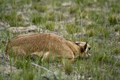 Baby antelope hiding Stock Photo