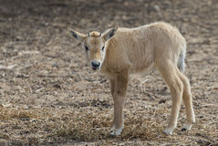 Baby of antelope Oryx Stock Photos