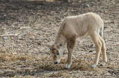 Baby of antelope Oryx Royalty Free Stock Image