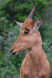 Baby antelope. Young red hartebeest antelope full frame head shot Royalty Free Stock Photos