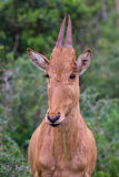 Baby antelope Stock Image