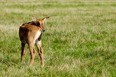 Baby antelope Stock Photo