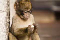 Baby Ape Eating. Monkey at Gibraltar Ape's Den being fed, concentrating on a piece of apple Royalty Free Stock Photos