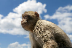 Baby ape staring out to sea. Baby macaque staring out to sea on top of the Rock of Gibraltar stock images